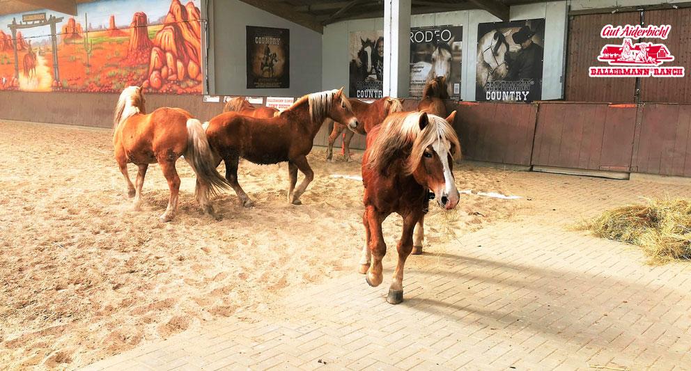 Die sechs Haflinger-Hengste des ehem. Zirkus G. Althoff auf der Ballermann ranch in Niedersachsen